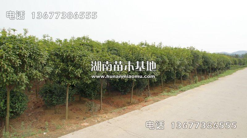 5-6公分桂花树