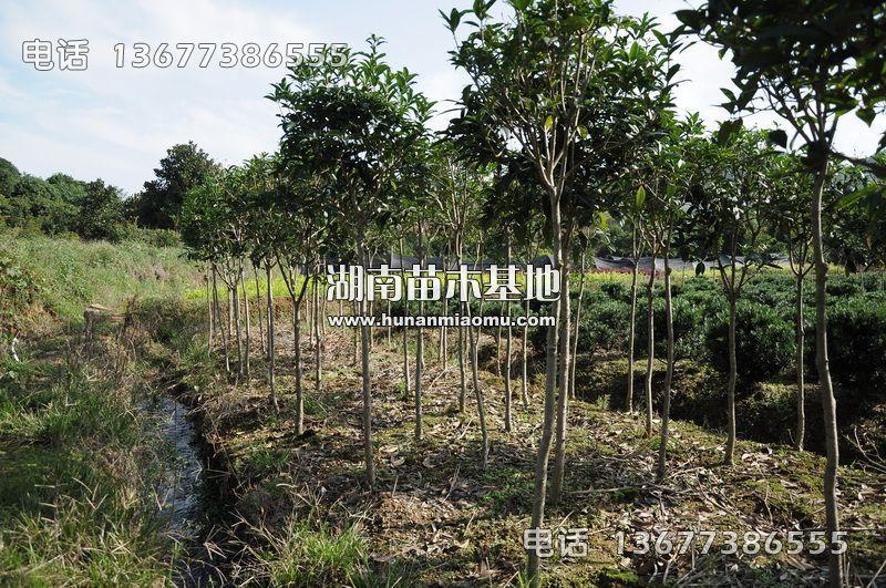 2-3公分桂花树