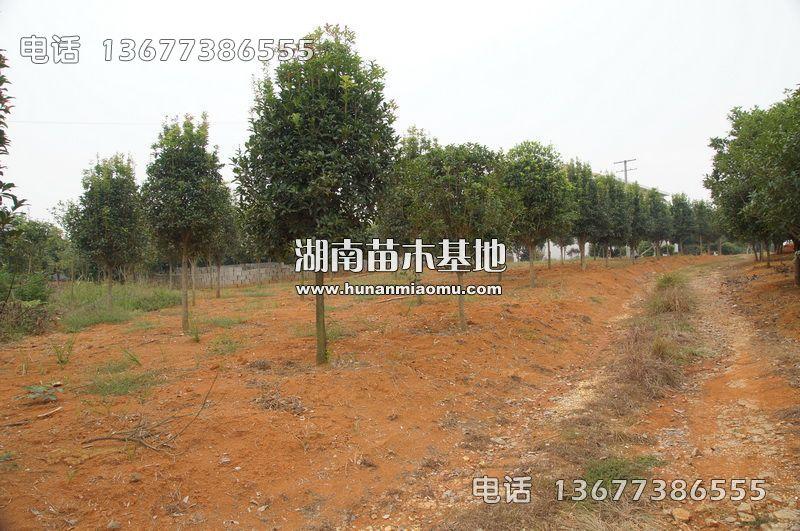 湖南桂花树
