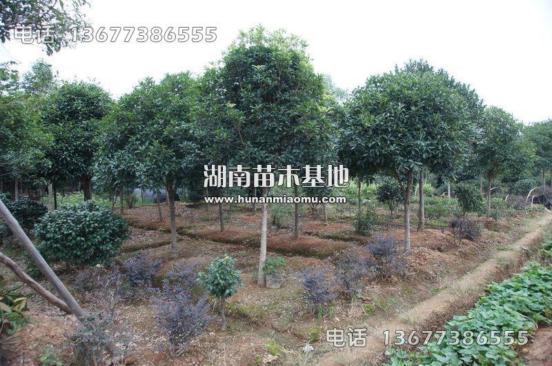 8-10公分桂花树