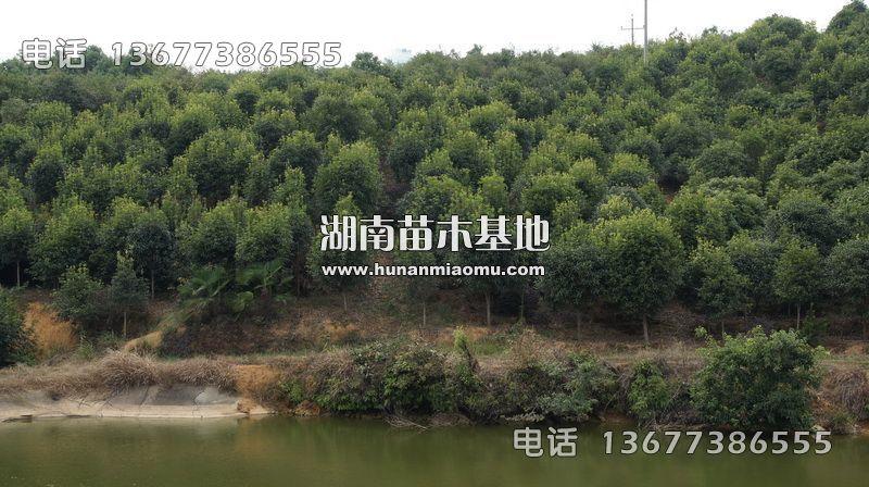8-12公分桂花树