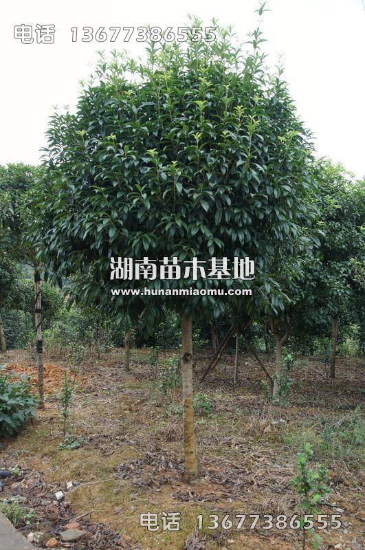 8公分桂花树