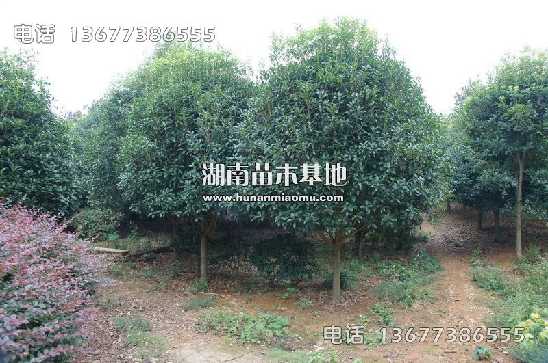 12公分桂花树