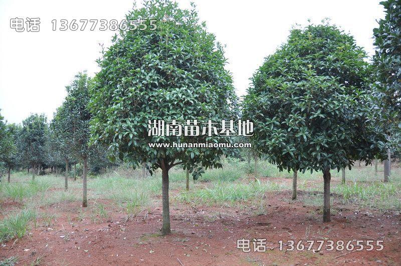 10公分桂花树