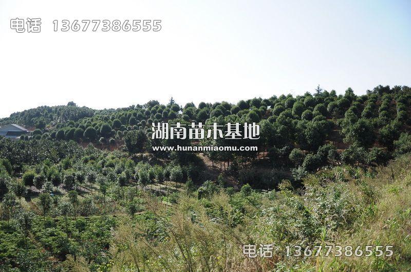 湖南桂花树基地