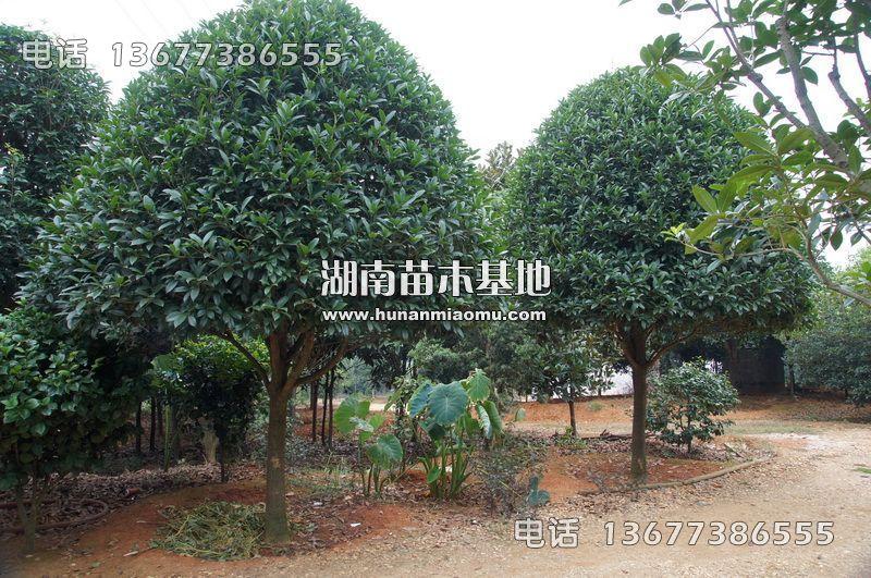 15公分桂花树