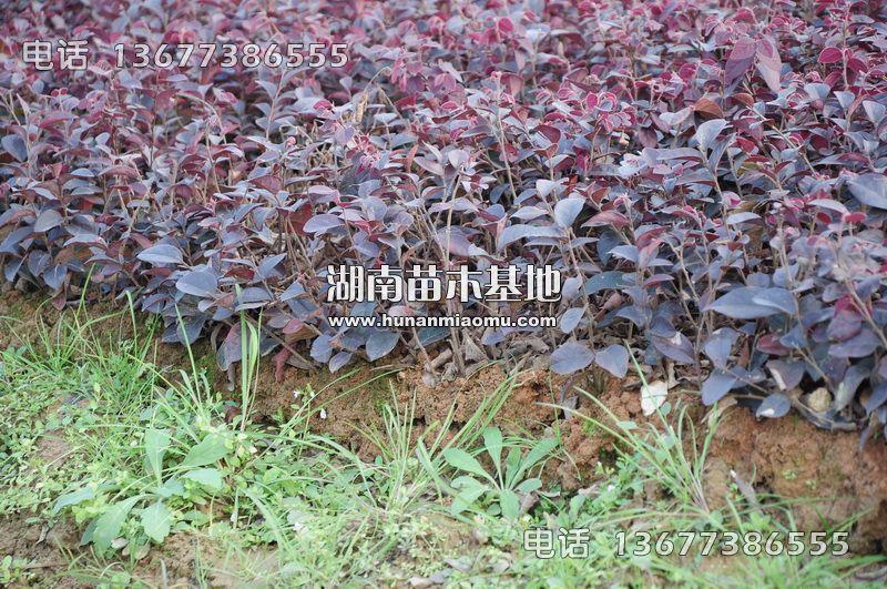 红继木扦插苗