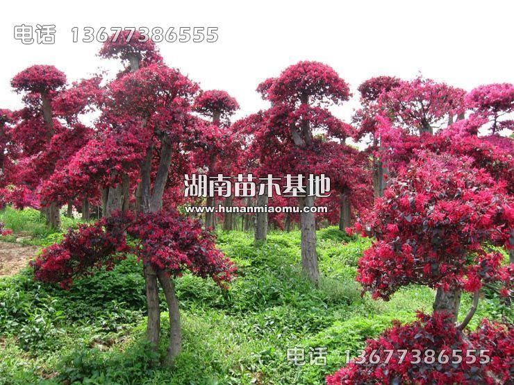 红花继木桩