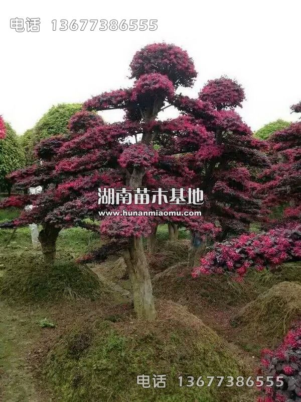 造型红花继木桩