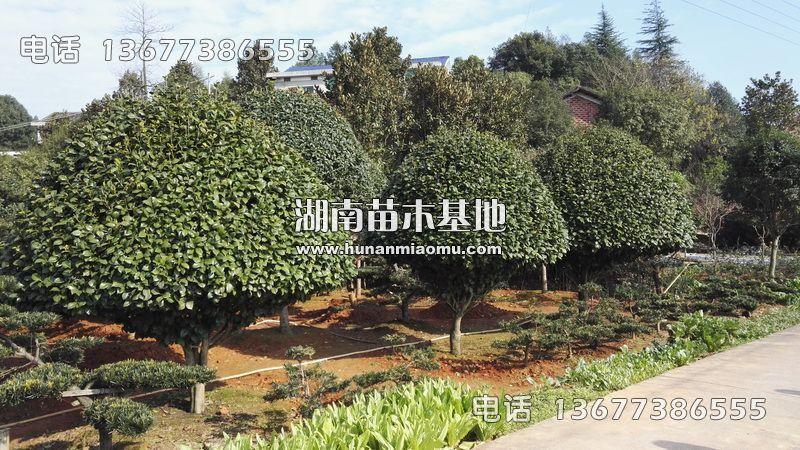 3米茶花精球树