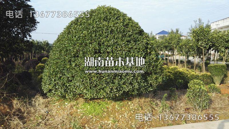 4米大叶黄杨球