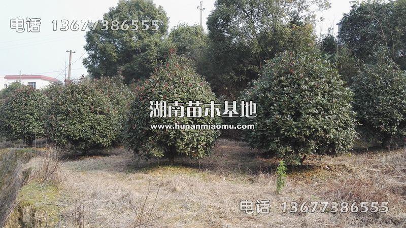 2-3米红叶石楠球基地