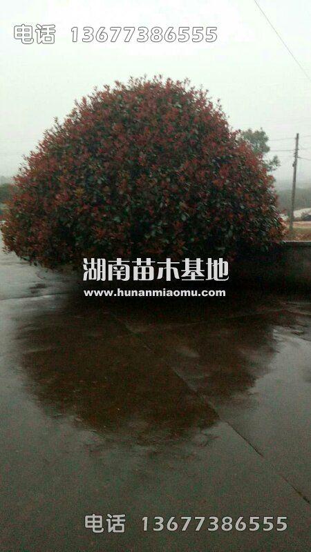 4米红叶石楠球