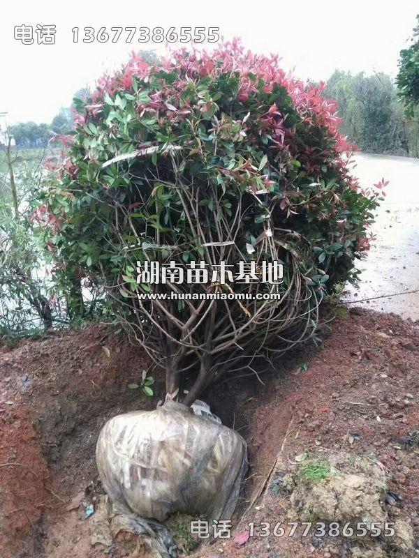 大红叶石楠球土球包装