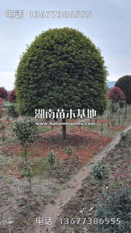 湖南精品桂花