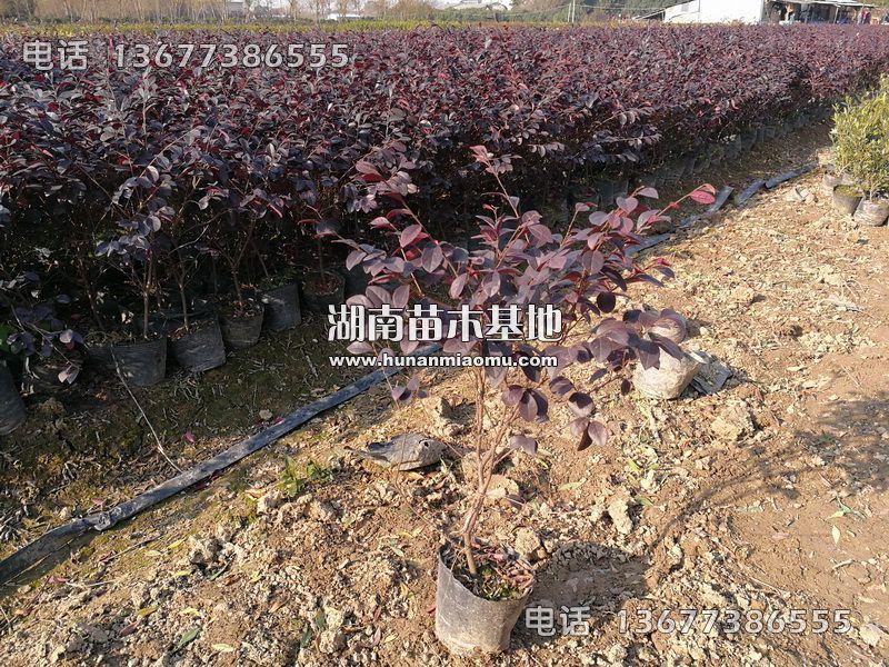 红花继木盆苗