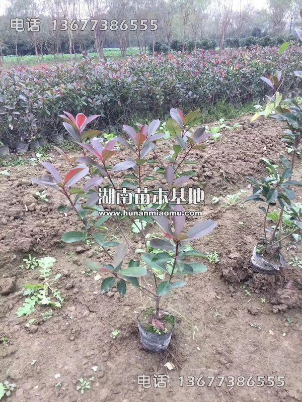 红叶石楠盆苗