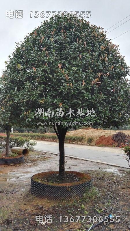 精品红叶石楠树