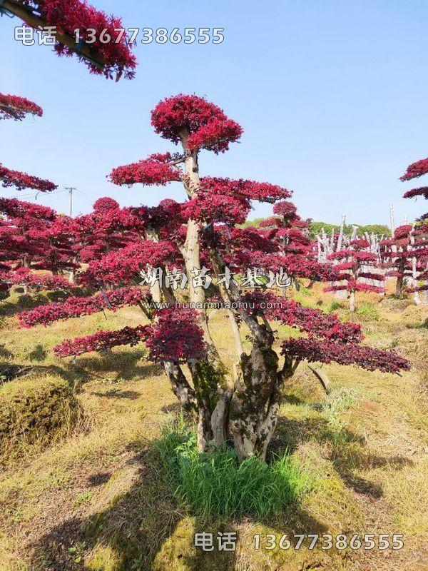 精品红继木桩开花
