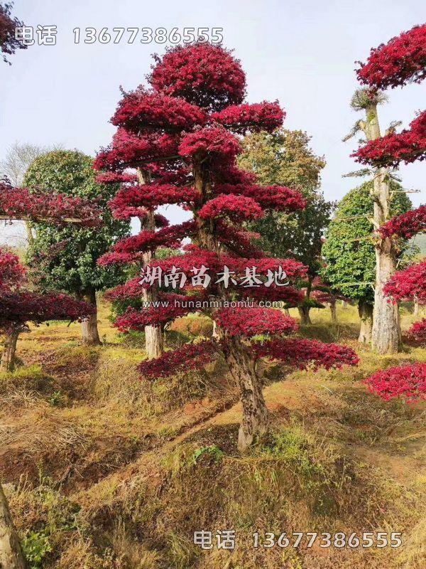 红继木桩开花