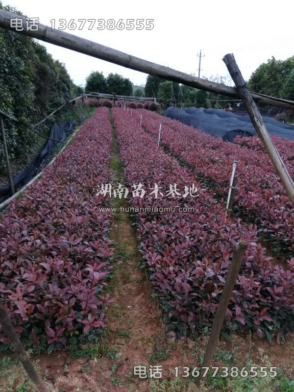 红叶石楠杯苗