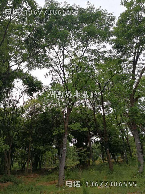 移栽黄连木
