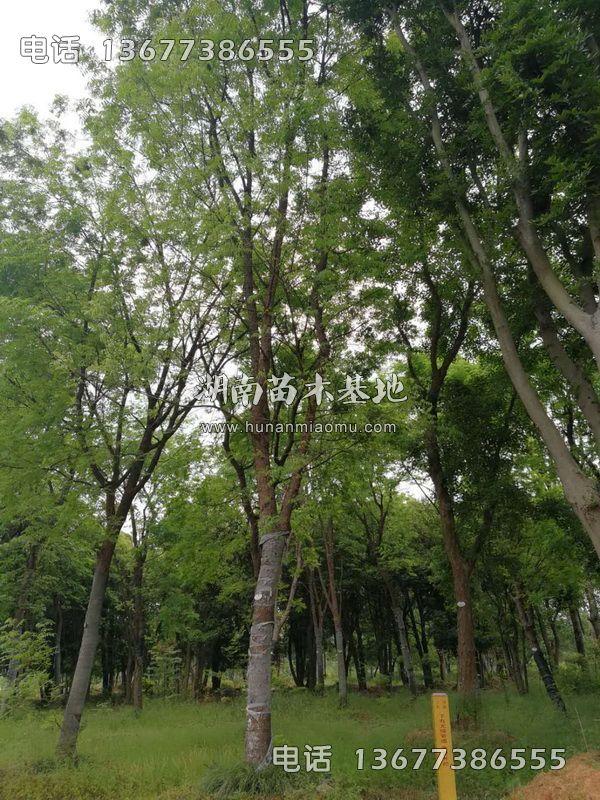 移植黄连木