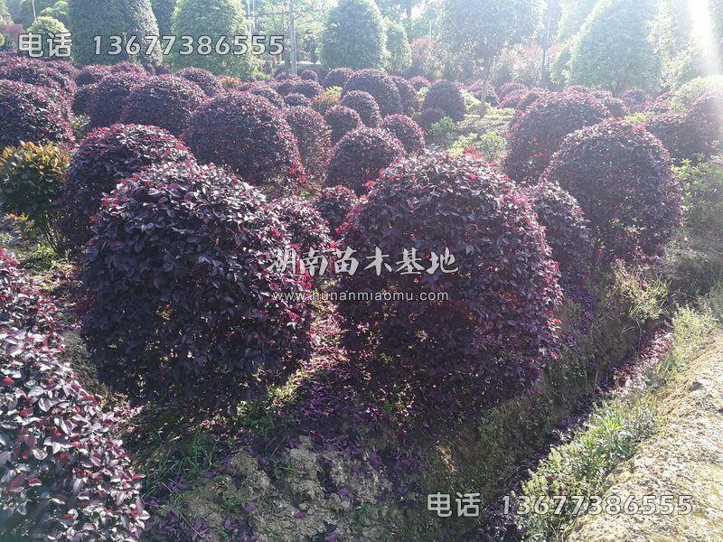 红花继木球基地