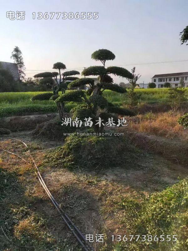 3米冠幅榆树桩