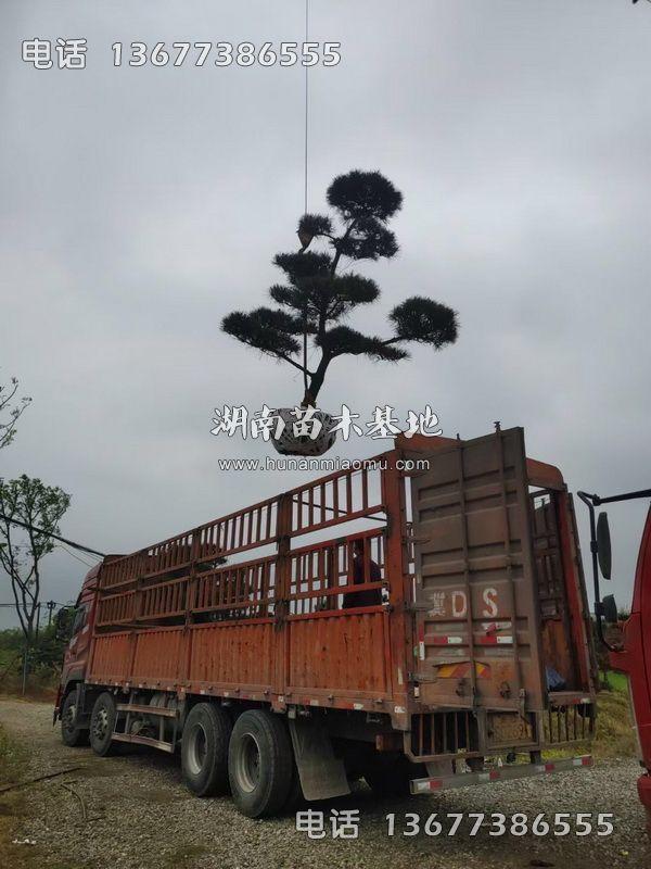 造型黑松装车