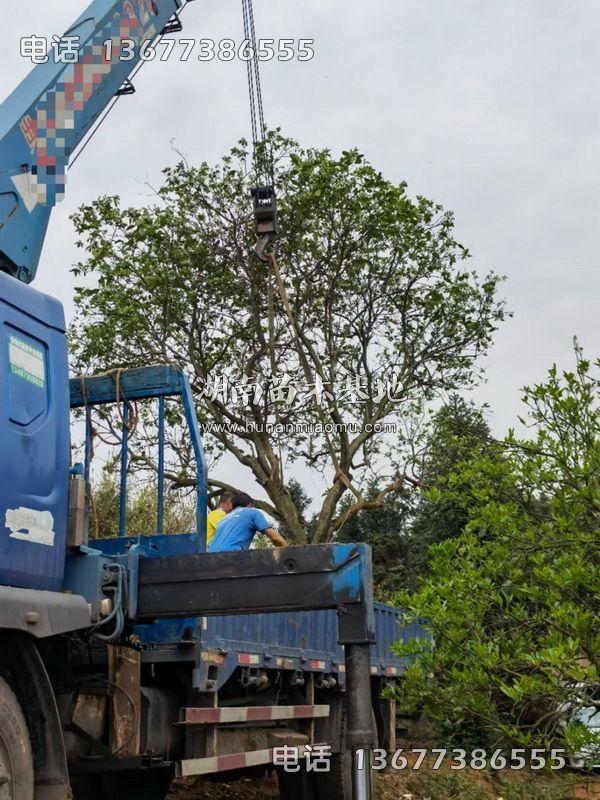 丛生柚子树装车